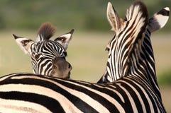 Zebra Portrait Stock Image