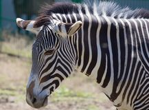 Zebra portrait on Askania Nova Royalty Free Stock Image