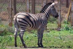 Zebra portrait on Askania Nova Royalty Free Stock Images