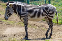 Zebra portrait on Askania Nova Stock Photography