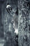 Zebra portrait. Behind a tree Stock Photography