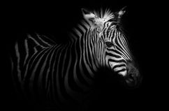 Zebra portrait - black background Royalty Free Stock Images