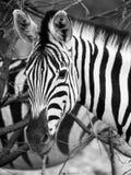 Zebra portrait in black and white Stock Image