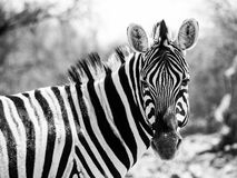 Zebra portrait in black and white Stock Photo