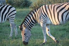 Zebra Portrait in Botswana. Small herd of Zebra grazing near Serowe, Botswana Stock Photos