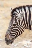 Zebra portrait. Burchell's zebra, Equus quagga burchellii. Etosha national Park, Ombika, Kunene, Namibia. True wildlife photography Stock Photo