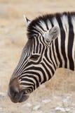 Zebra portrait. Burchell's zebra, Equus quagga burchellii. Etosha national Park, Ombika, Kunene, Namibia. True wildlife photography Stock Image