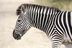 Zebra. Portrait of a Burchells Zebra in the kruger National Park Stock Photography