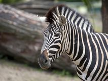 Zebra, a portrait royalty free stock images