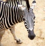 Zebra portrait. Close up on Stock Photography