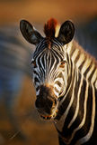 Zebra portrait close-up Royalty Free Stock Photos