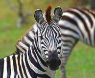 Zebra portrait. Closeup shot of a staring Zebra Stock Photos