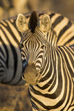 Zebra portrait in a colour photo with head close-up Royalty Free Stock Photo
