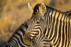 Zebra portrait in a colour photo with head close-up Royalty Free Stock Photos