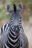Zebra portrait in colour photo with heads close-up Stock Image