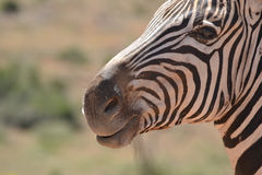 Zebra. Portrait in front on blurred background Stock Images