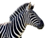 Zebra Portrait - Isolated Stock Image