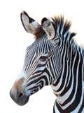 Zebra Portrait Isolated on White Stock Photography