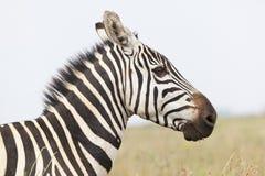 Zebra Portrait in Kenya. Portrait of a Zebra in Nairobi National Park in Kenya Stock Image
