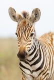 Zebra Portrait in Kenya Royalty Free Stock Photography