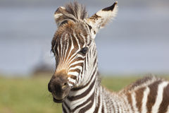 Zebra Portrait in Kenya Stock Photography