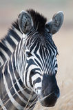 Zebra portrait left Royalty Free Stock Photo