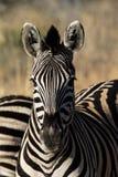 Zebra portrait. Looking into camera Stock Photos