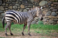 Zebra. Portrait of zebra looking great Stock Photo