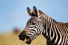 Zebra portrait, Masai Mara Royalty Free Stock Photos
