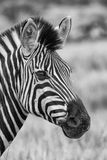 Zebra portrait in nature lovely detail artistic converion Stock Photos