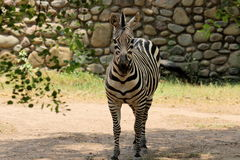 Zebra portrait. One zebra standing Royalty Free Stock Photography