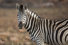 Zebra Portrait South Africa Stock Photo