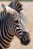 Zebra. Portrait of zebra standing on sand Royalty Free Stock Photos