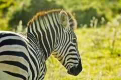 Zebra portrait Stock Images