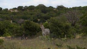Zebra Portrait in the wild backdrop. Backdrop of a single zebra in the wild royalty free stock photography