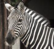 Zebra portrait. Portrait of a zebra in the zoo Royalty Free Stock Photo