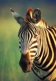 Zebra portret Zdjęcia Royalty Free