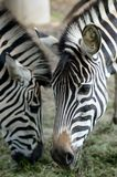 Zebra portret Obrazy Stock