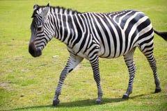 Zebra portret na dzikim savana parku Obraz Stock