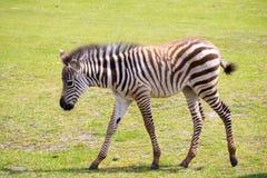 Zebra portret na dzikim savana parku Obrazy Stock
