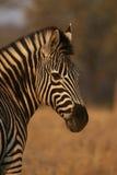 Zebra portret przy zmierzchem Zdjęcie Royalty Free