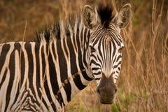 Zebra portret w krzaku Zdjęcia Royalty Free