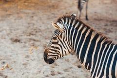 Zebra portreta kierowniczy zakończenie up Obrazy Royalty Free