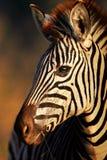 Zebra portreta zakończenie Fotografia Stock