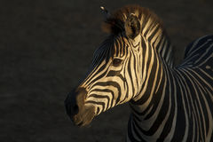 Zebra Portriat Stock Photography