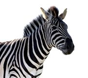 Zebra-Porträt - lokalisiert Lizenzfreie Stockfotografie
