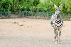 Zebra posing outdoors. Horizontal photo Stock Images
