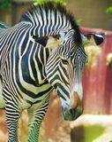 Zebra. Posing for a picture, Summer 2015 Stock Images