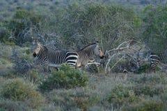 Zebra posta em perigo do Equus da zebra de montanha do cabo, Addo Elephant National Park, África do Sul imagem de stock royalty free