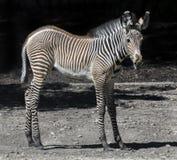 Zebra& x27 ; poulain de s Images stock